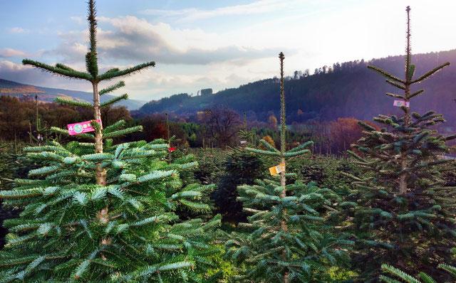 Der Spessart ist ideal für den Anbau von Christbäumen