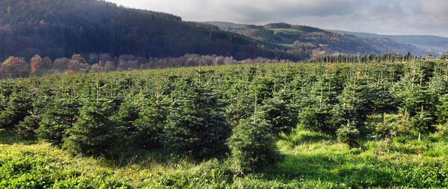 Eine unserer Bio-Weihnachtsbaum-Plantagen