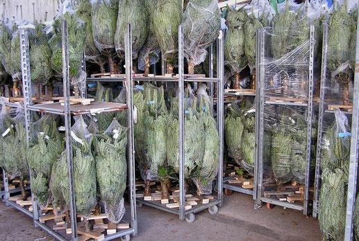 Bio-Weihnachtsbäume - verkaufsfertig verpackte Ware